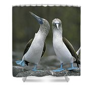 Blue Footed Booby Dancing Shower Curtain