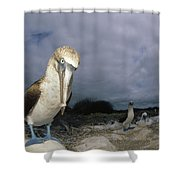 Blue-footed Booby Galapagos Islands Shower Curtain