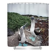 Blue-footed Booby Pair Courting Shower Curtain
