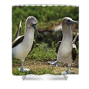 Blue-footed Booby Pair In Courtship Shower Curtain
