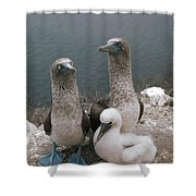Blue-footed Booby Parents With Chick Shower Curtain