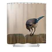 Blue Jay Eating Corn Shower Curtain