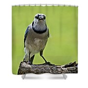 Blue Jay Meal Time Shower Curtain