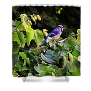Blue Jay In A Tree Shower Curtain