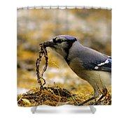 Blue Jay Nest Building Shower Curtain