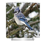 Blue Jay On Hemlock Shower Curtain