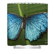 Blue Morpho - Morpho Peleides Shower Curtain