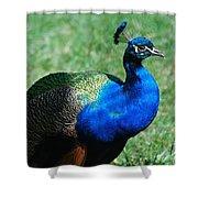 Blue Peafowl Shower Curtain