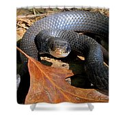 Blue Racer Shower Curtain by Joshua Bales