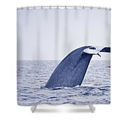 Blue Whale Tail Fluke With Remoras Shower Curtain