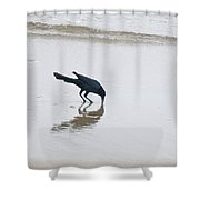 Boat-tailed Grackle - Quiscalus Major - In Surf Shower Curtain