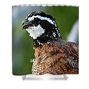 Bob White Quail Shower Curtain