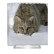 Bobcat Crouching In Snow Colorado Shower Curtain