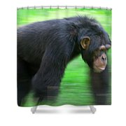 Bonobo Pan Paniscus Knuckle-walking Shower Curtain