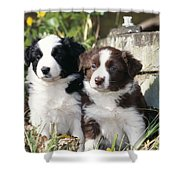 Border Collie Dog, Two Puppies Shower Curtain