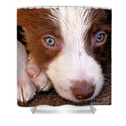 Border Collie Tan And White Pup Shower Curtain
