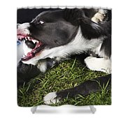 Border Collies Playing Shower Curtain