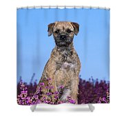 Border Terrier Dog, In Heather Shower Curtain