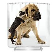 Boston Terrier And Mastiff Shower Curtain