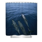 Bottlenose Dolphins Surfacing Shark Bay Shower Curtain