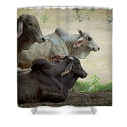 Brahman Cattle Shower Curtain by Peggy Collins