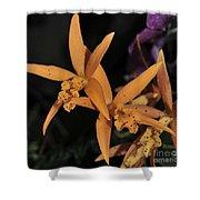 Brassolaeliocattleya Hawaiian Treat Shower Curtain