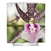 Bratonia Miltassia Charles M Fitch Izumi Orchid Hawaii  Shower Curtain