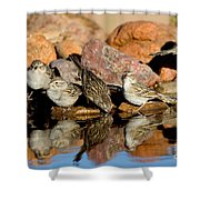 Brewers Sparrows At Waterhole Shower Curtain