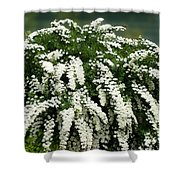 Bridal Wreath Spirea - White Flowers - Florist Shower Curtain