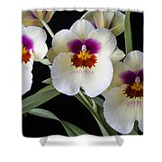 Bright Miltonia Orchids Shower Curtain