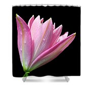 Bright Pink Trumpet Lily  Shower Curtain