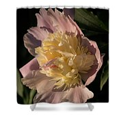 Brilliant Spring Sunshine - A Showy Pink Peony From My Garden Shower Curtain