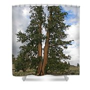 Brisslecone Pine Tree Shower Curtain