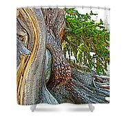 Bristlecone Pine On Ramparts Trail In Cedar Breaks National Monument-utah  Shower Curtain