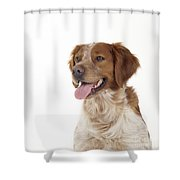 Brittany Dog, Close-up Of Head Shower Curtain