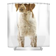 Brittany Spaniel Shower Curtain