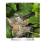 Broad-billed Hummingbird In Nest Shower Curtain