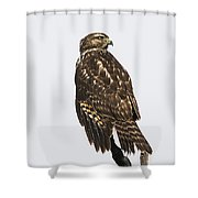 Broad Tailed Hawk Shower Curtain