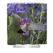 Broad-tailed Hummingbird Shower Curtain