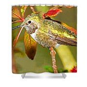 Broad Tailed Hummingbird Shower Curtain
