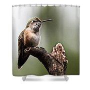 Broad-tailed Hummingbird Sit  Shower Curtain