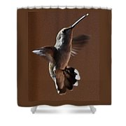 Broadtail Female Anna In Flight  Shower Curtain