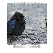Bronzed Cowbird Display Shower Curtain