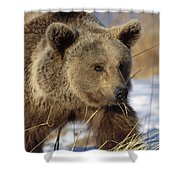 Brown Bear Eating Dry Grasses Shower Curtain