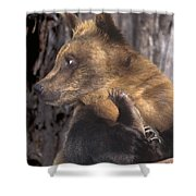 Brown Bear Tackles An Itchy Foot Endangered Species Wildlife Rescue Shower Curtain
