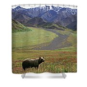Brown Grizzly Bear In Denali National Shower Curtain