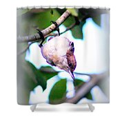 Brown-headed Nuthatch 9173-006 Shower Curtain