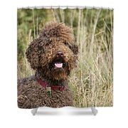 Brown Labradoodle In Field Shower Curtain