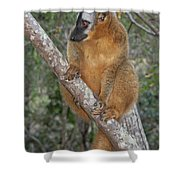 brown Maki Madagascar 1 Shower Curtain