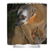 brown Maki Madagascar 2 Shower Curtain